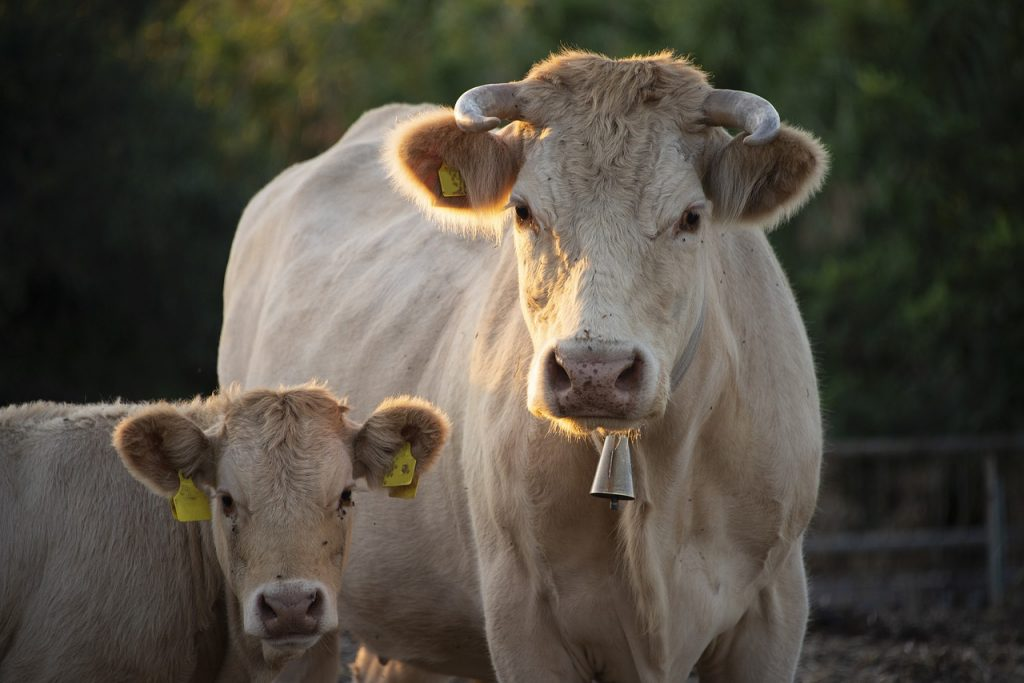 Vache avec son veau, paradoxe de la viande