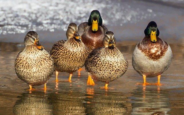 Nous aimons les canards et nous les mangeons, c'est le paradoxe de la viande